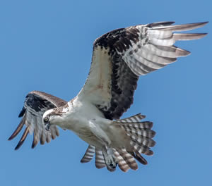 Osprey, photo by Rick West