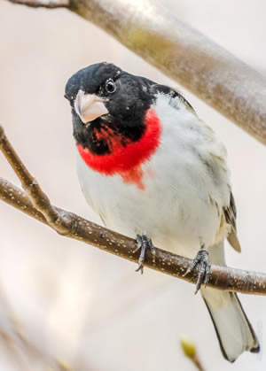Rose-breasted Grosbeak, photo by Rick West