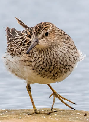 Pectoral Sandpiper, photo by Rick West