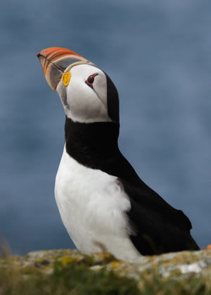 Atlantic Puffin, photo by Rick West