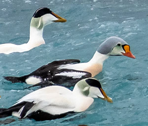 King Eider and Common Eiders, photo by Rick West