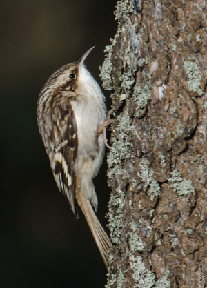 Brown Creeper, photo by Rick West
