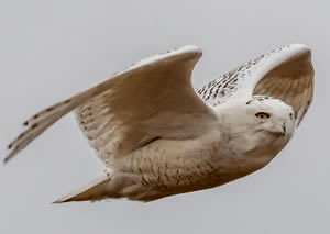 Snowy Owl at Cape Spear, photo by Rick West