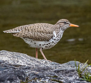 Spotted Sandpiper, Waterford River, photo by Rick West